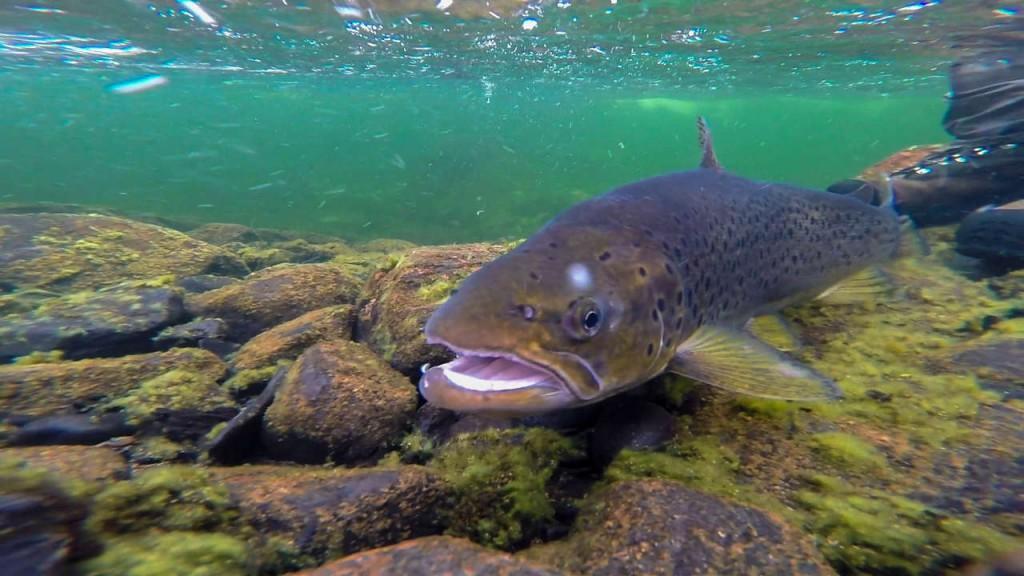 r_trout10