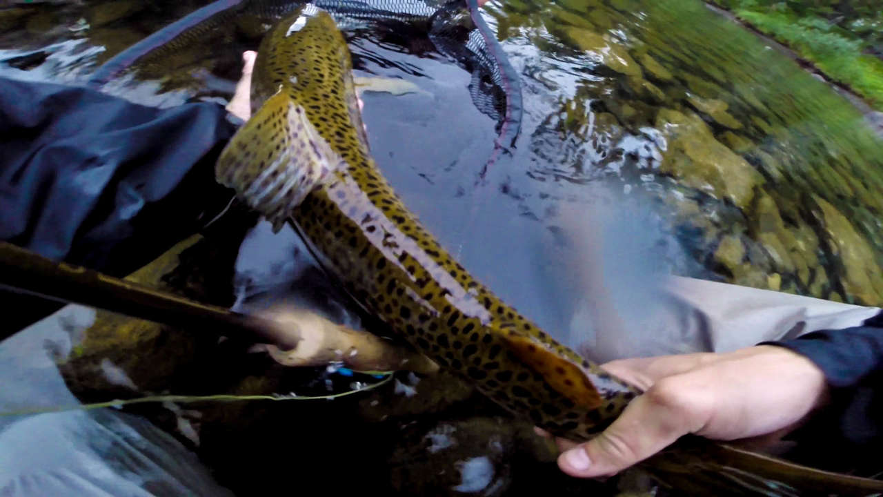 Trout | Thailand Fly Fishing